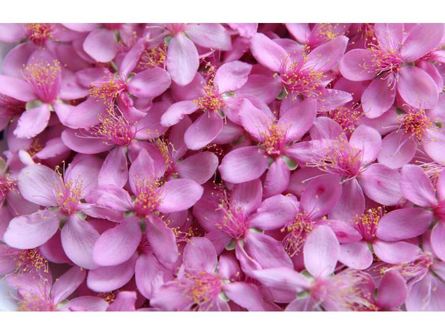 Tản mạn về màu tím hoa Sim