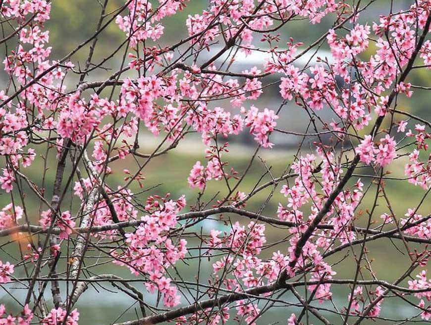 Hoa mai anh đào khoe sắc ở Măng Đen - Kon Tum