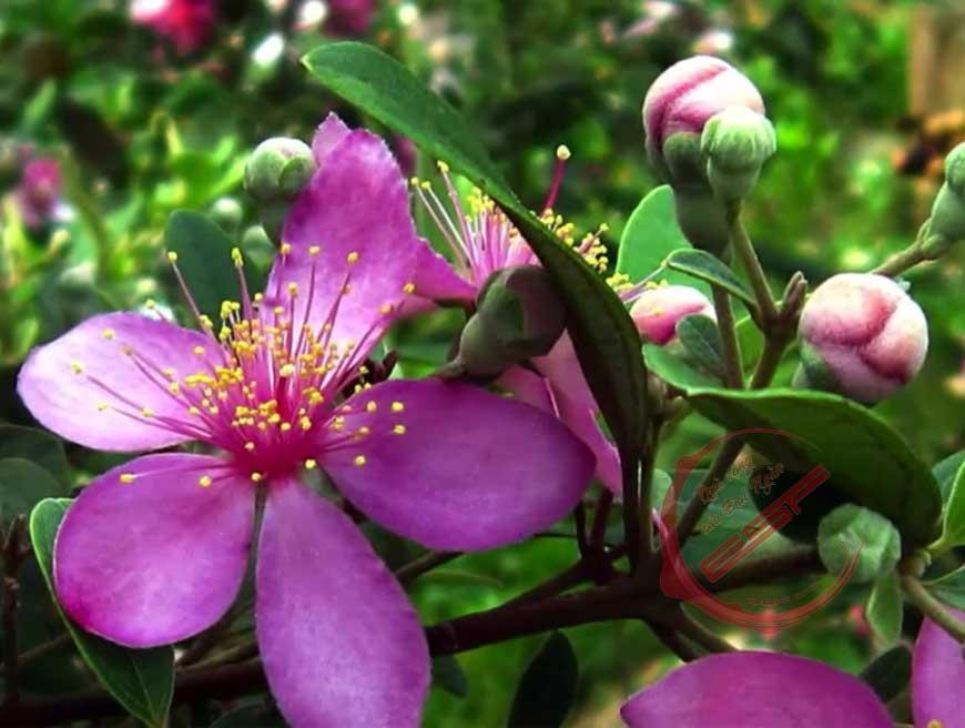 Có nên trồng cây sim rừng cho vườn nhà hay không?