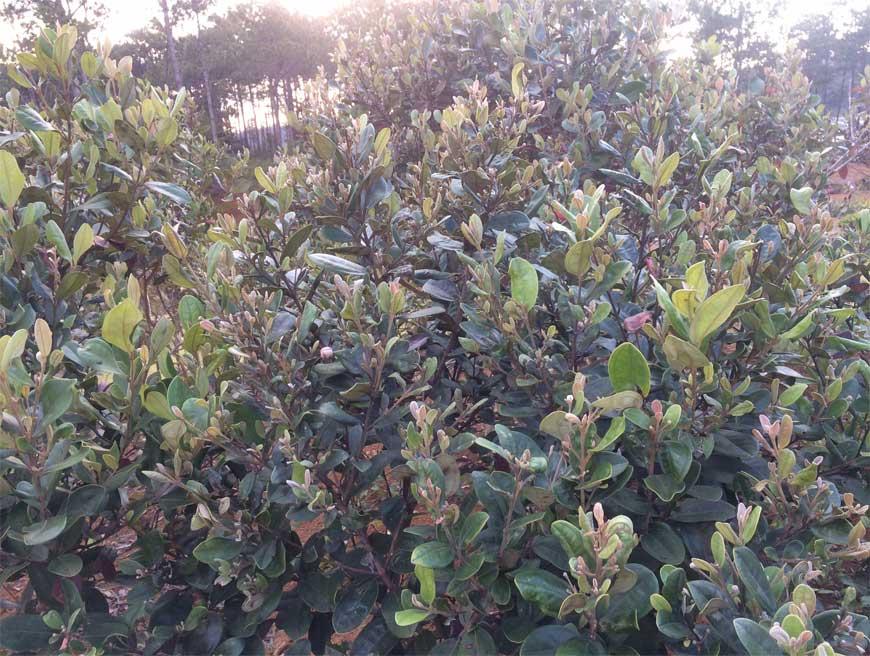 Cây mọc dại ở Việt Nam cứ mùa hè là trĩu quả, đào về trồng kiếm tiền triệu